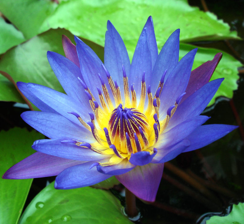 Picture of blue lotus lily flower